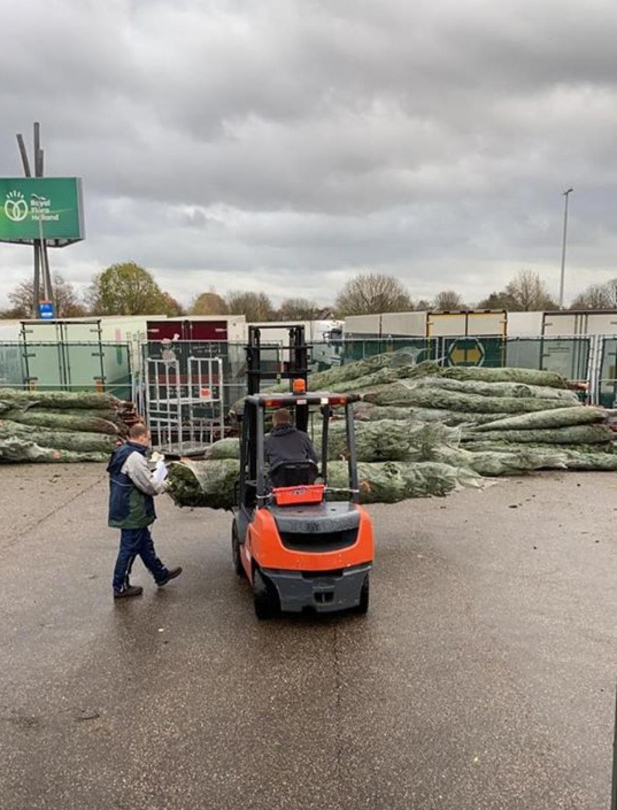 Thông tươi nhập về Việt Nam thường có xuất xứ từ Đan Mạch, một quốc gia trồng thông nổi tiếng trên thế giới. Giá cho mỗi cây cao từ 1 - 1,35m dao động 4 - 5 triệu đồng. Những cây thông to, cao hơn 3m giá lên tới hơn 20 triệu đồng. (Ảnh: Afamily)