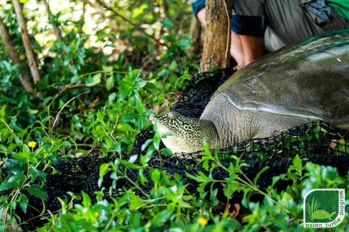 Cá thể rùa được thả về hồ. Ảnh: ATP