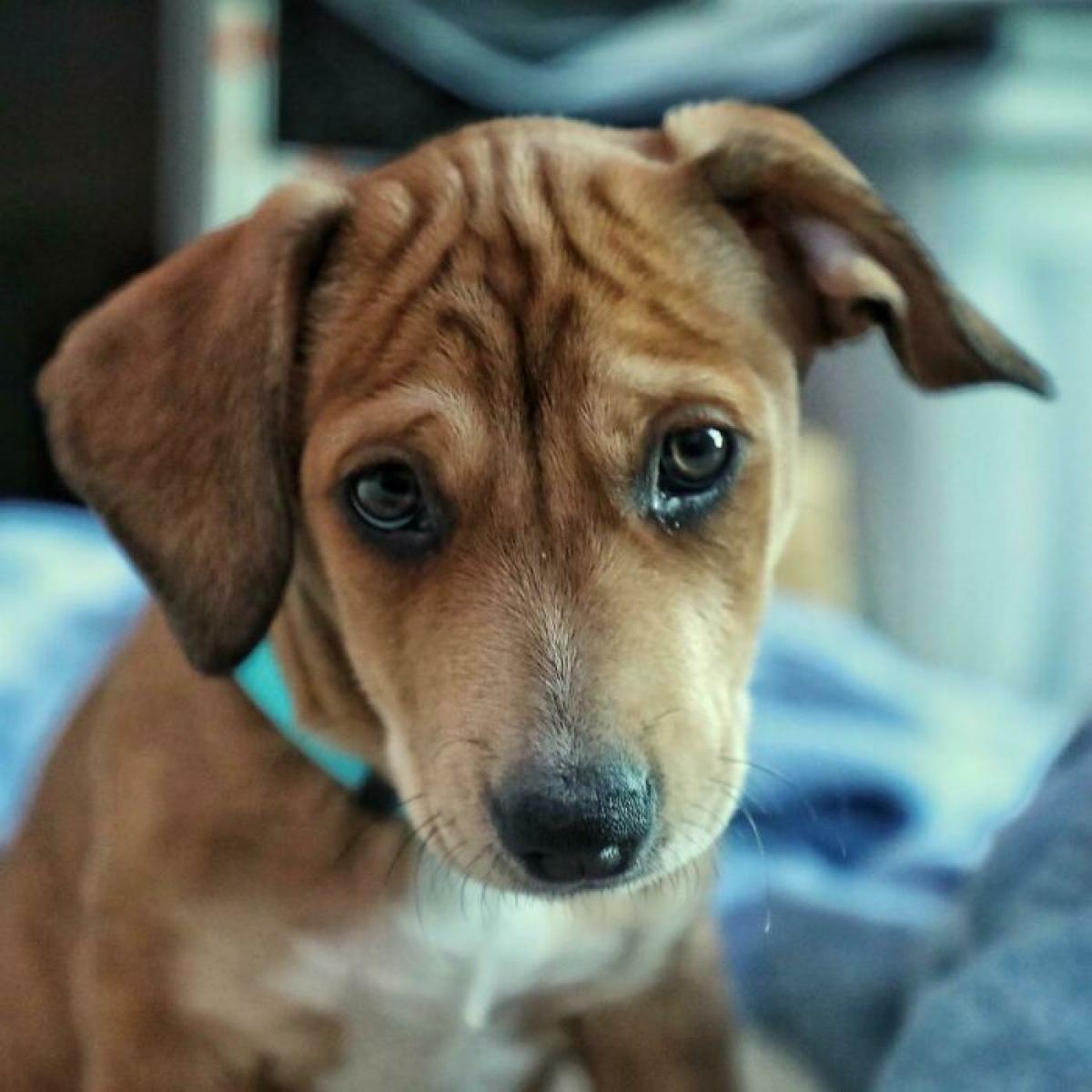 Ánh nhìn tội nghiệp của chú chó sau thời gian dài bị ngược đãi.