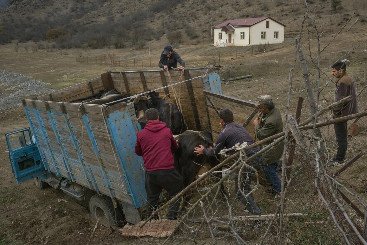 Người dân Armenia cố gắng mang theo nhiều của cải, kể cả bò.