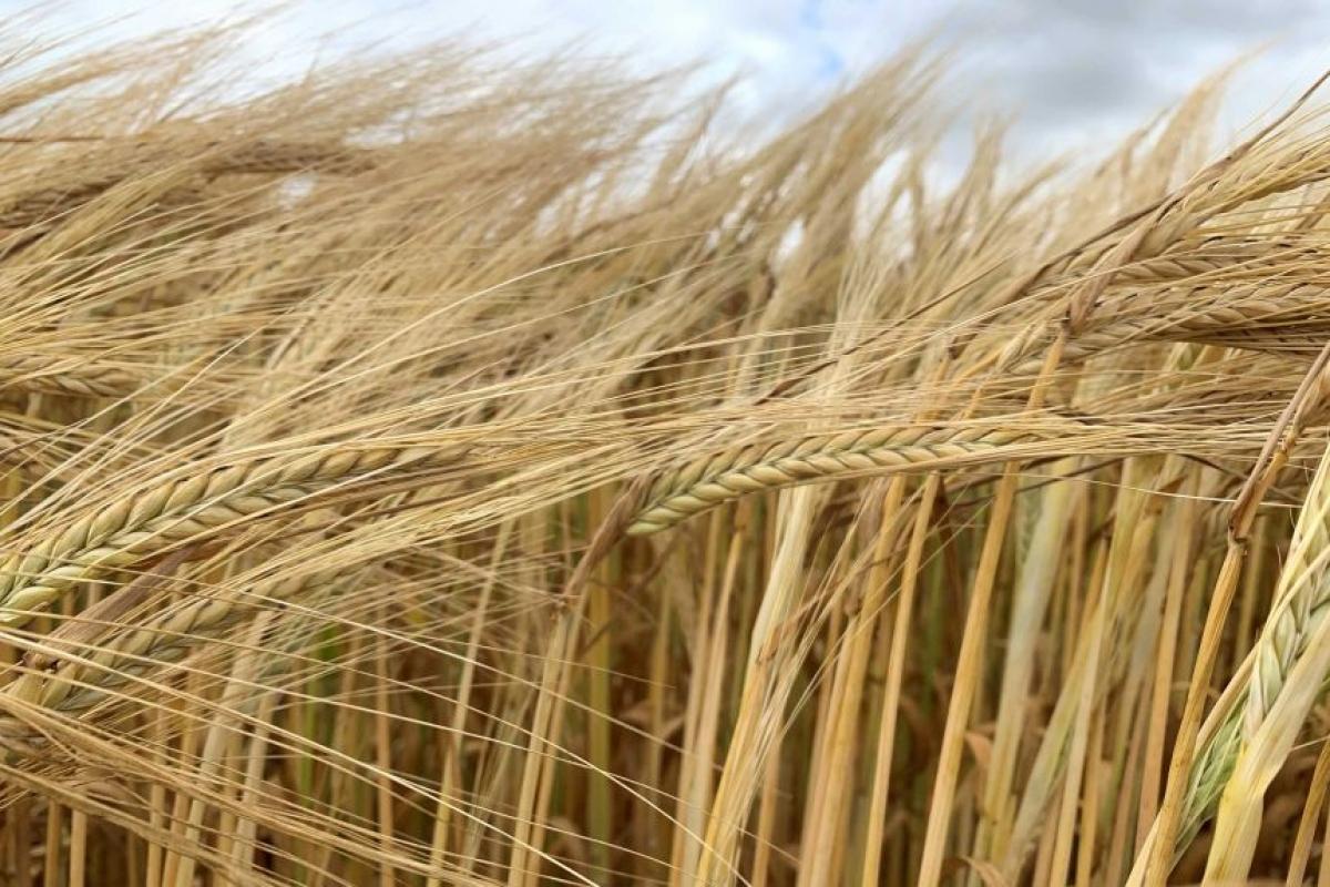 Australila có thể thiệt hại lên tới 2,5 tỷ AUD trong 5 năm tới nếu Trung Quốc áp các mức thuế cao đối với lúa mạch của nước này. Nguồn: ABC.