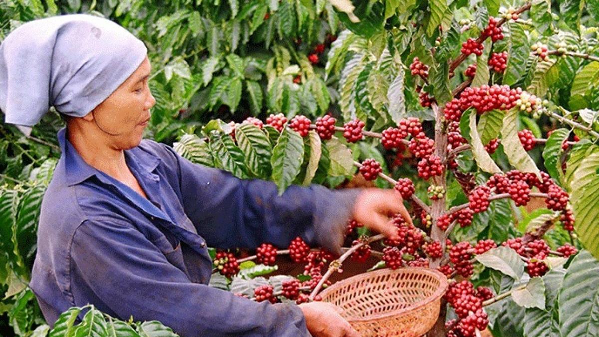 Xuất khẩu cà phê đã thu về hơn 2,32 tỷ USD trong 10 tháng. (Ảnh: KT)