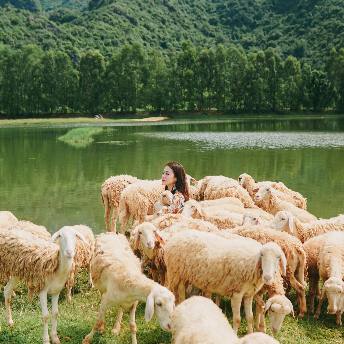 Although it just appeared recently, the sheep fields in Ninh Binh quickly captured the hearts of many virtual followers.  Sheep here are grazed along the dike, they move freely, leisurely eat grass, creating a beautiful and dreamy natural picture.