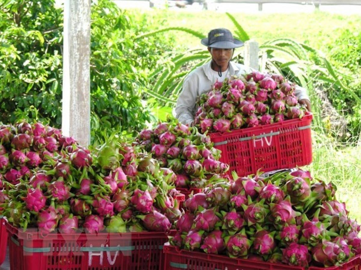 Harvesting dragon fruits in Binh Thuan (Illustrative image. Source: VNA)