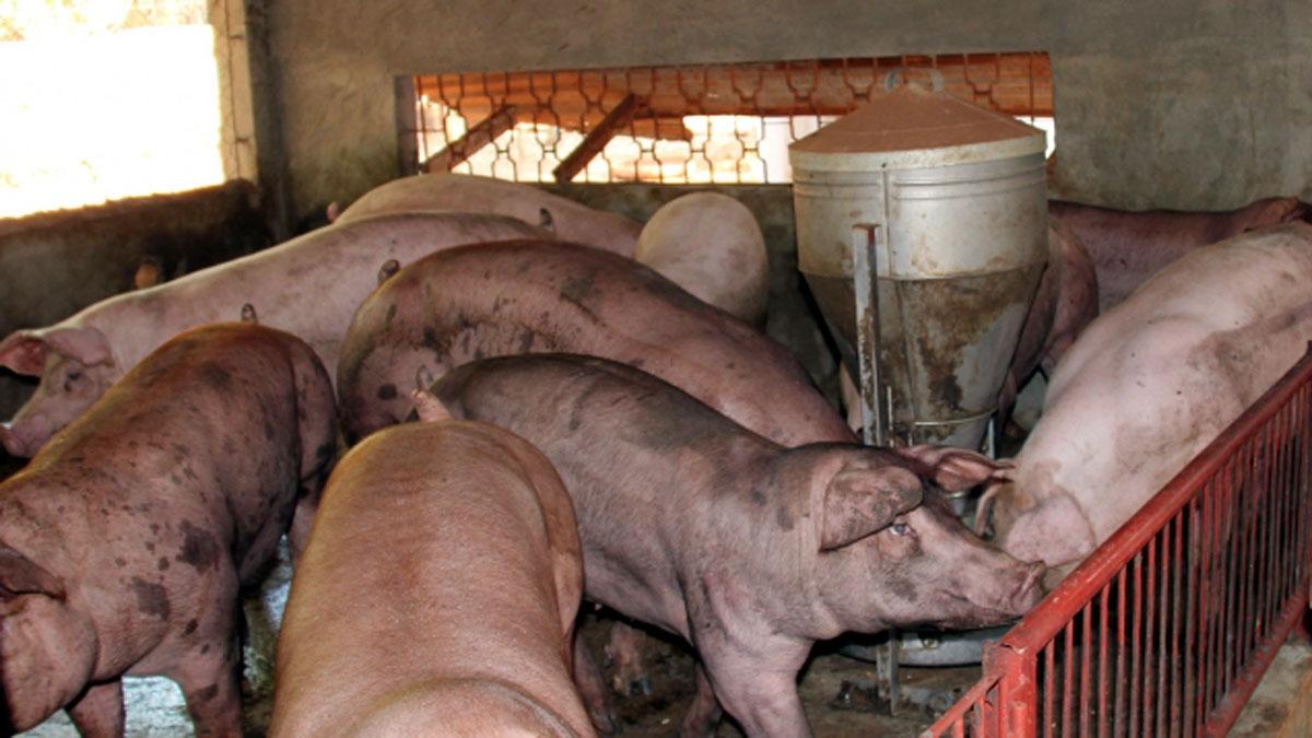 Bệnh dịch tả lợn châu Phi đã tái xuất hiện ở Lâm Đồng. Ảnh minh họa: Báo NNVN