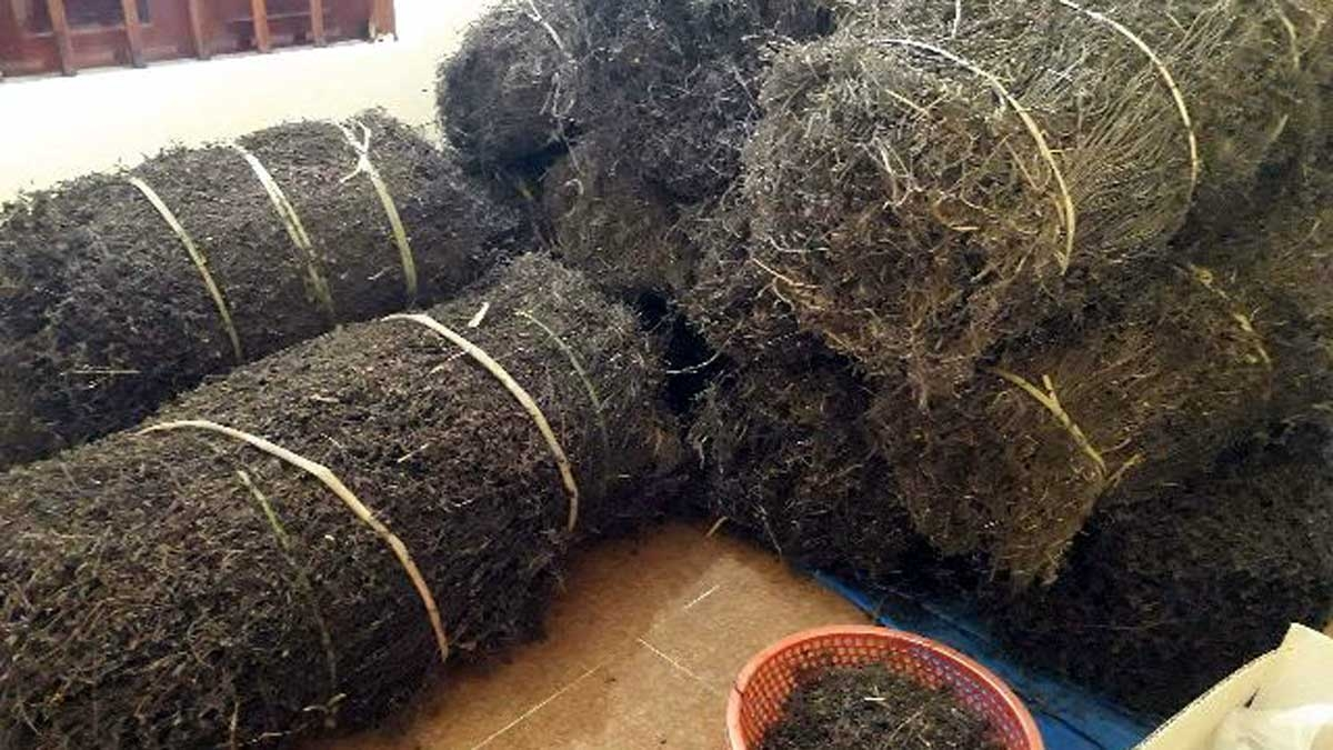 Thạch đen là sản phẩm đặc trưng và có tiềm năng kinh tế lớn của vùng miền núi phía Bắc. (Ảnh minh họa: KT)