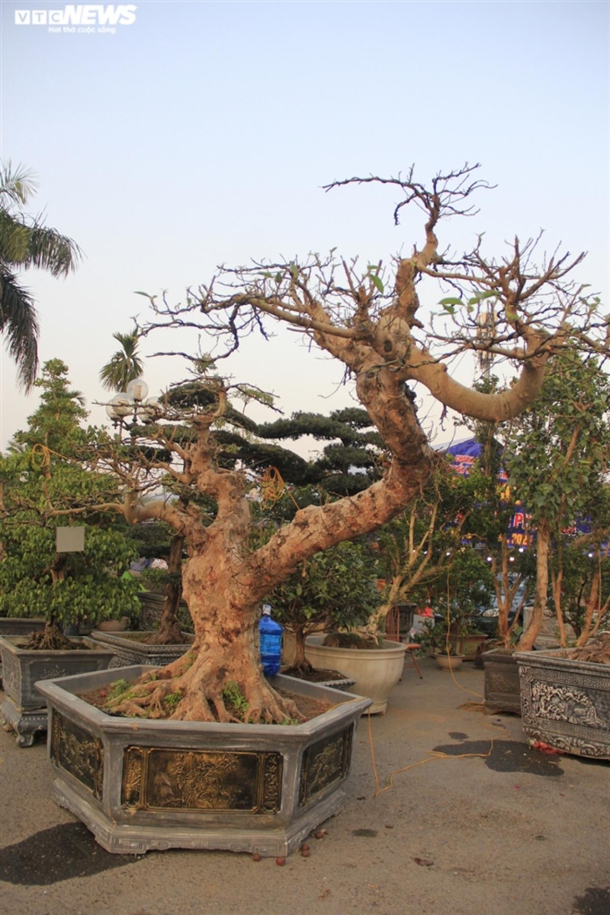 Chỉ còn ít ngày nữa là đến Tết Nguyên Đán, thị trường cây cảnh đang rất nóng. Bên cạnh đào, quất, bưởi thì người dân rất thích trưng bày cây sung vì theo quan niệm dân gian, sung là loại cây cảnh tượng trưng cho sự sung túc.