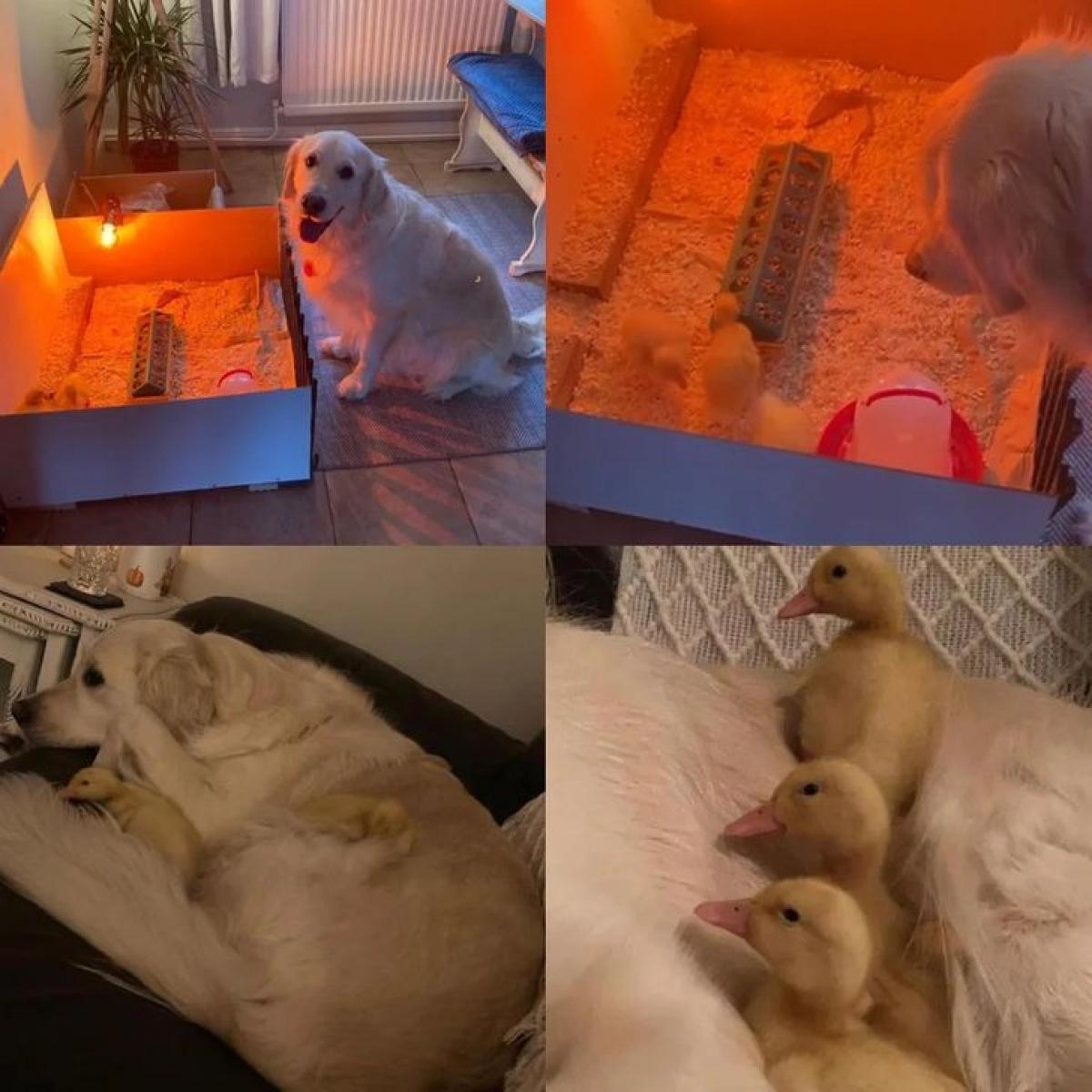 Chú chó canh đàn vịt con từ khi còn trong trứng, nó chăm sóc đàn vịt rất cẩn thận.