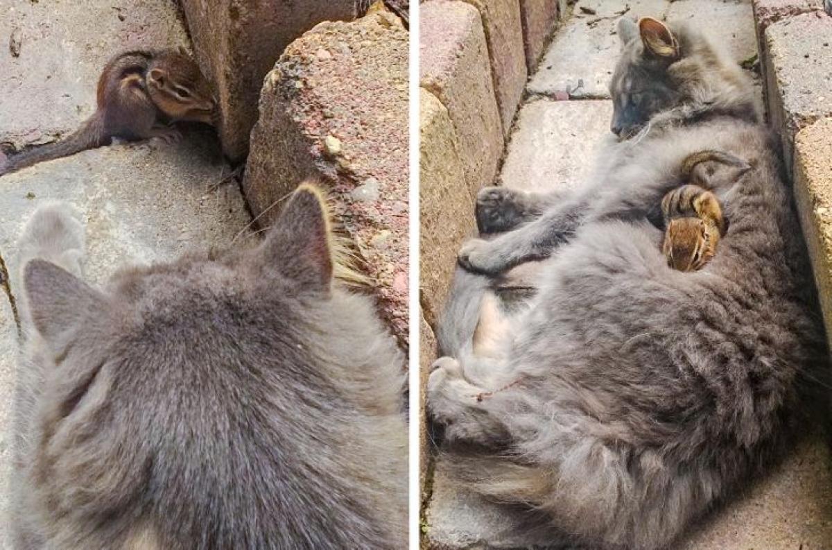 Chú sóc nằm ngủ gọn gàng trên người chú mèo.