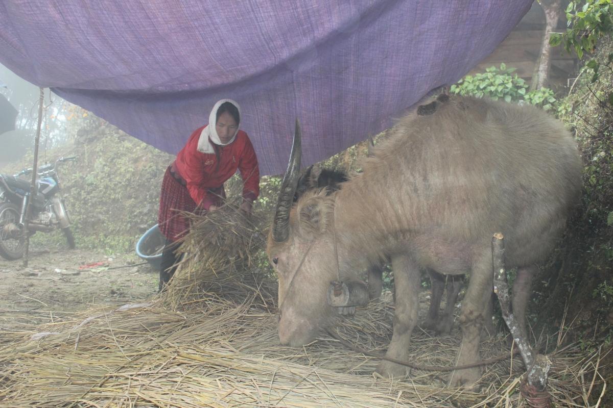 Các hộ gia đình đã chủ động đưa đàn gia súc về nuôi nhốt và cho ăn đảm bảo dinh dưỡng.