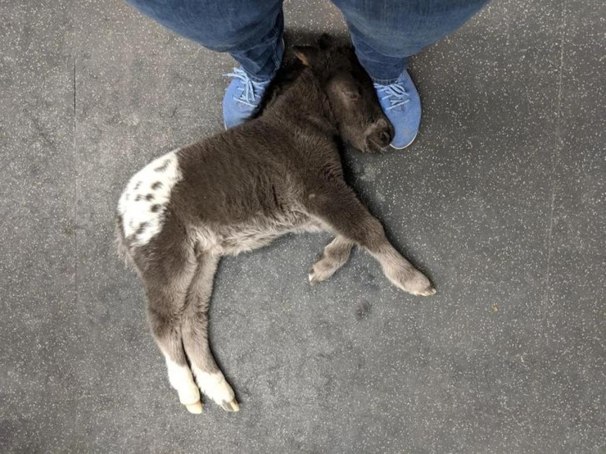 Chú ngựa con đáng yêu ngủ quên bên chân của bác sĩ thú ý.