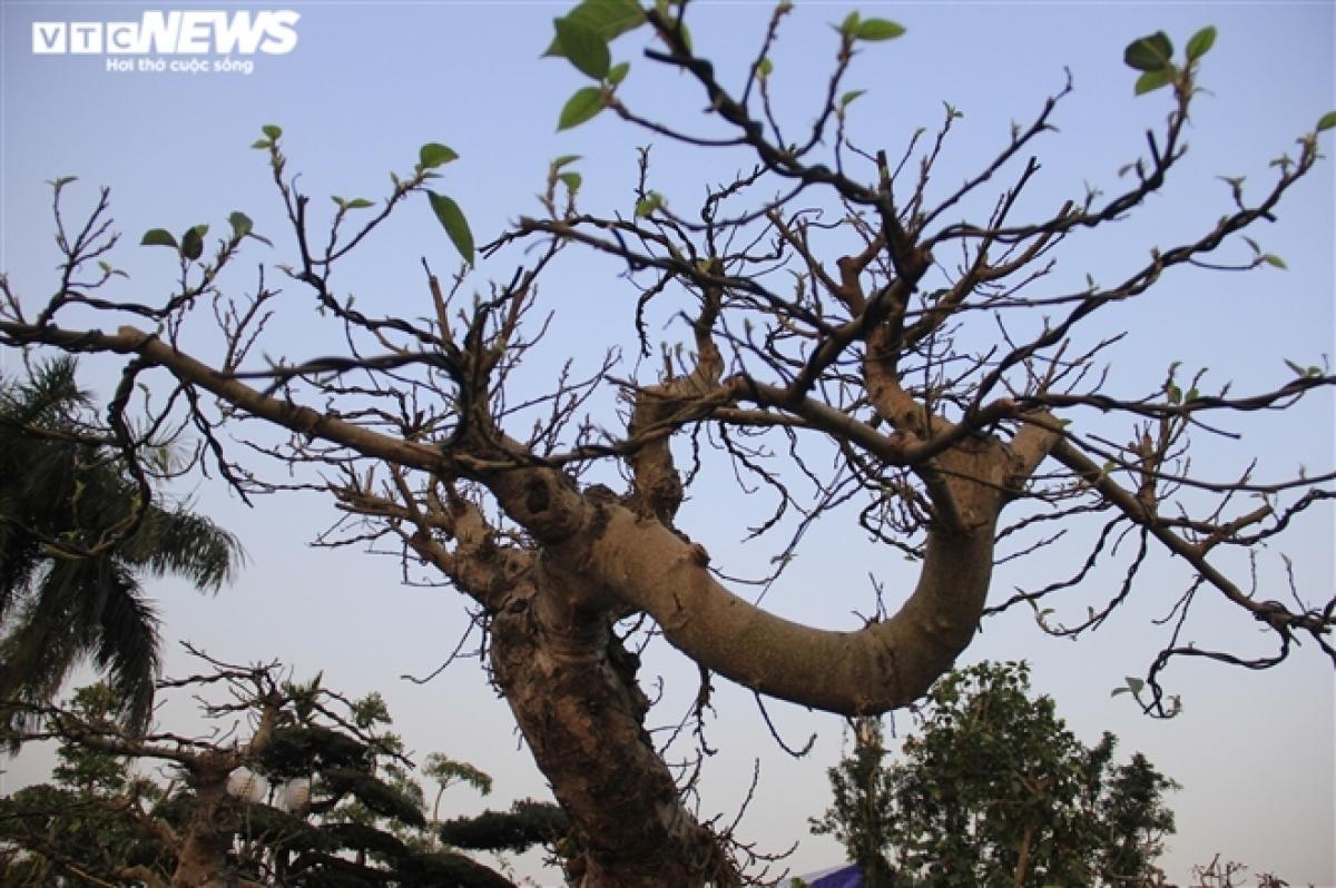 Tại Festival sinh vật cảnh diễn ra tại Sân vận động Mỹ Đình (Hà Nội), cây sung dáng lạ này được rất nhiều người chú ý.