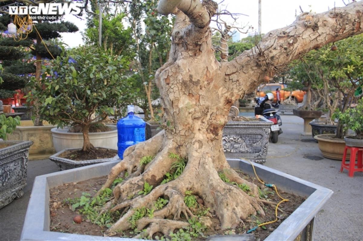 """Để có được cây sung kiểng giá trị như ngày hôm nay, anh Nhật đã phải bỏ ra gần chục năm để sưu tầm, chăm sóc, tạo tán. """"Nghề chơi cây cũng rất cầu kỳ, song để làm ra được cây đẹp thì người chủ cây phải có năng khiếu và óc thẩm mỹ mới sáng tạo ra được các cây kiểng có giá trị cao"""", anh Nhật nói."""