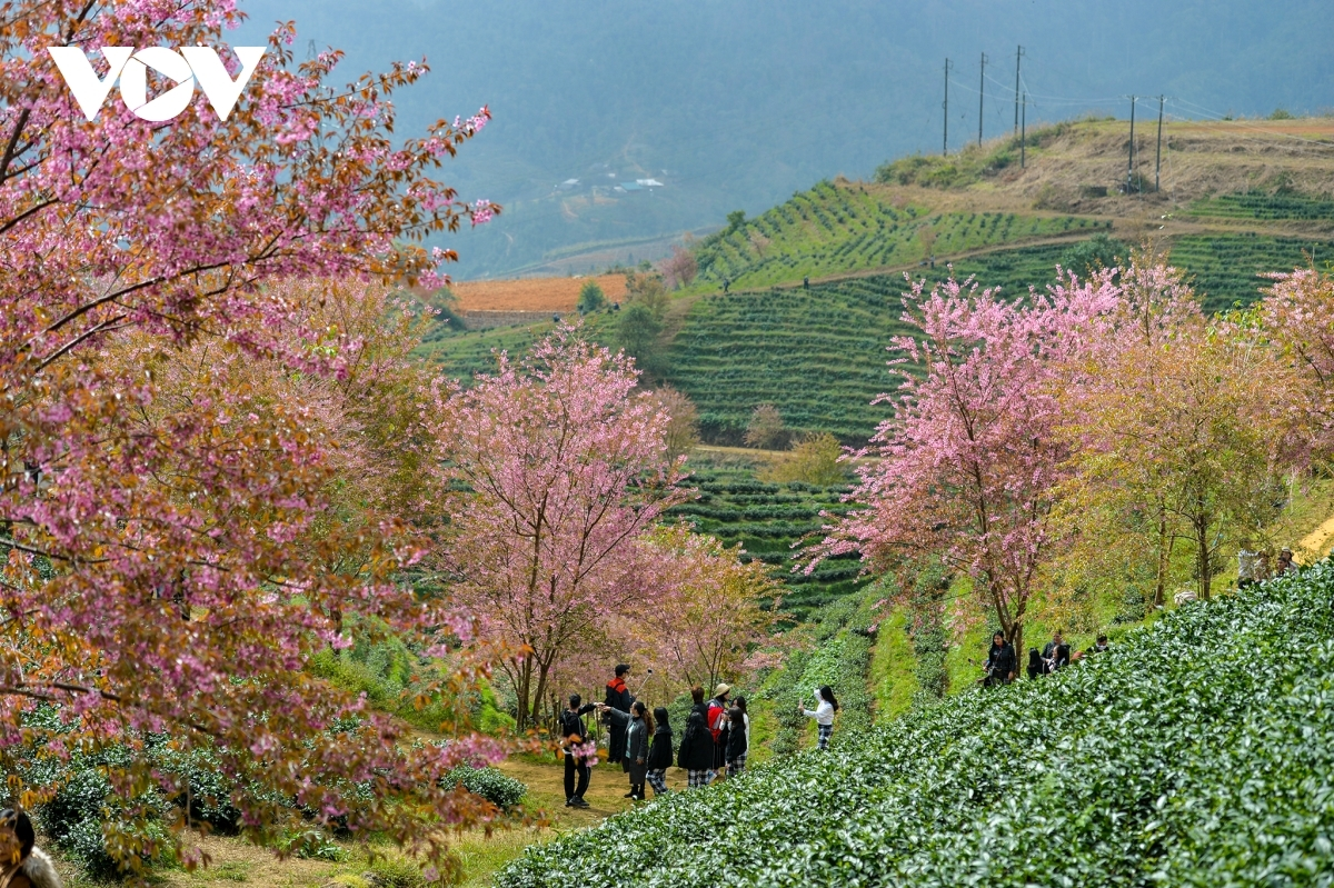 The local villages are also an ideal place in which to enjoy the town's scenic views. Cat Cat village is the most convenient place for the majority of tourists visiting the town as flowers bloom during every season of the year. The photo features Sa Pa cherry blossom hill, a site which is widely thought to be the perfect check-in spot for travelers.