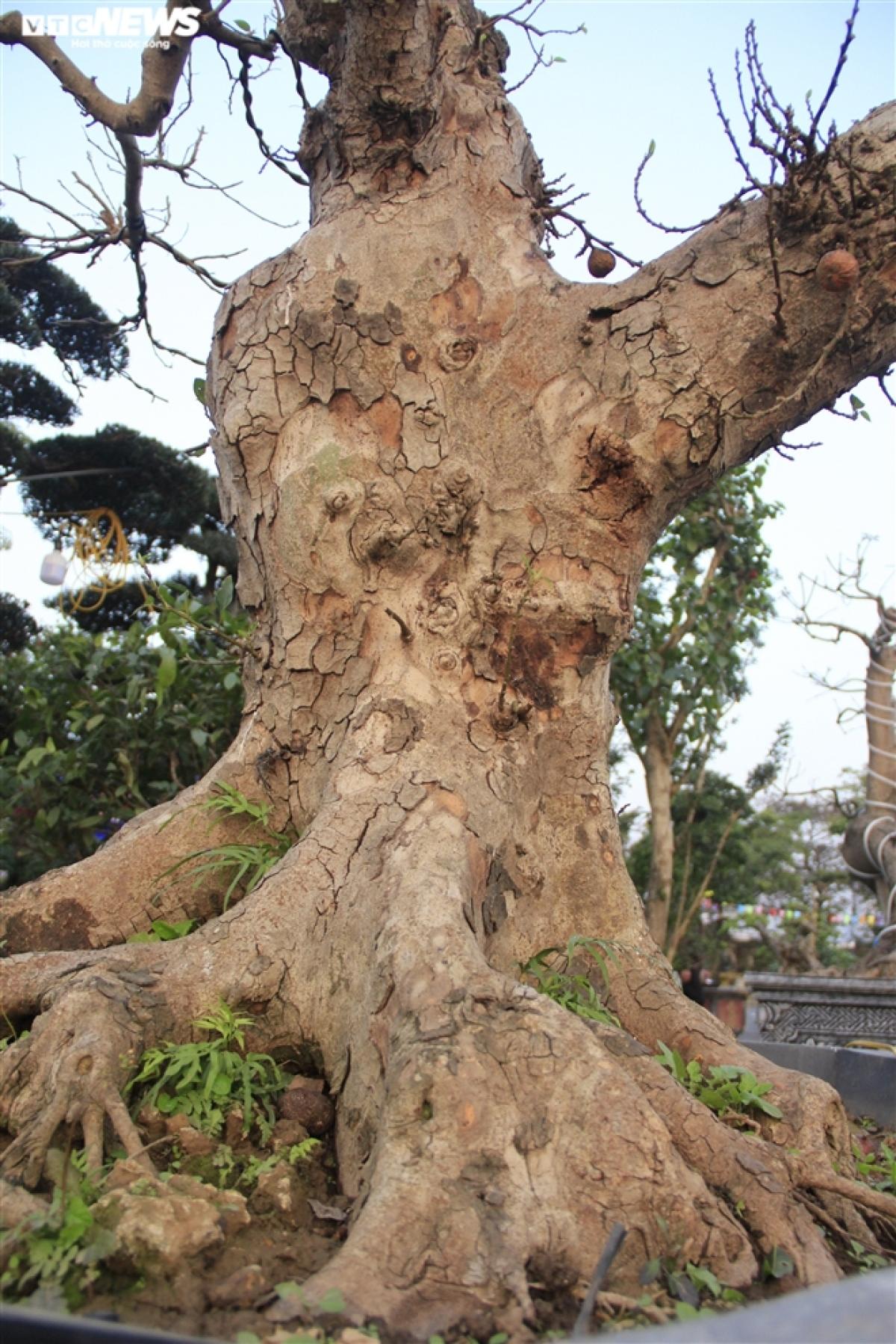 """Với dáng thế """"cực dị"""", cây sung kiểng của anh Nhật được nhiều dân chơi chú ý. Theo anh Nhật, các cây sung ở đây có tuổi từ vài chục năm cho đến hơn 100 năm tuổi. Giá sung được chào bán từ vài chục triệu cho đến 200 triệu đồng/cây."""