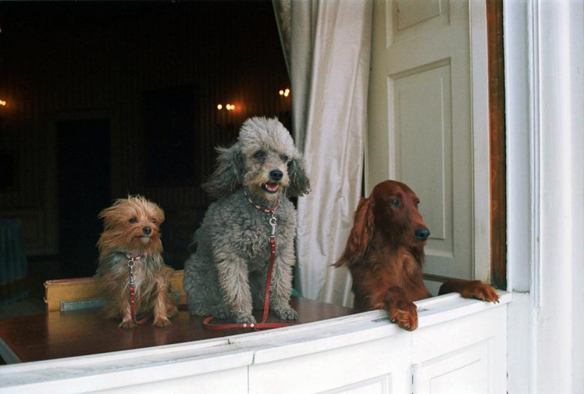 Ba chú chó Pasha, Vicki và King Timahoe của gia đình Tổng thống Richard Nixon (1970).