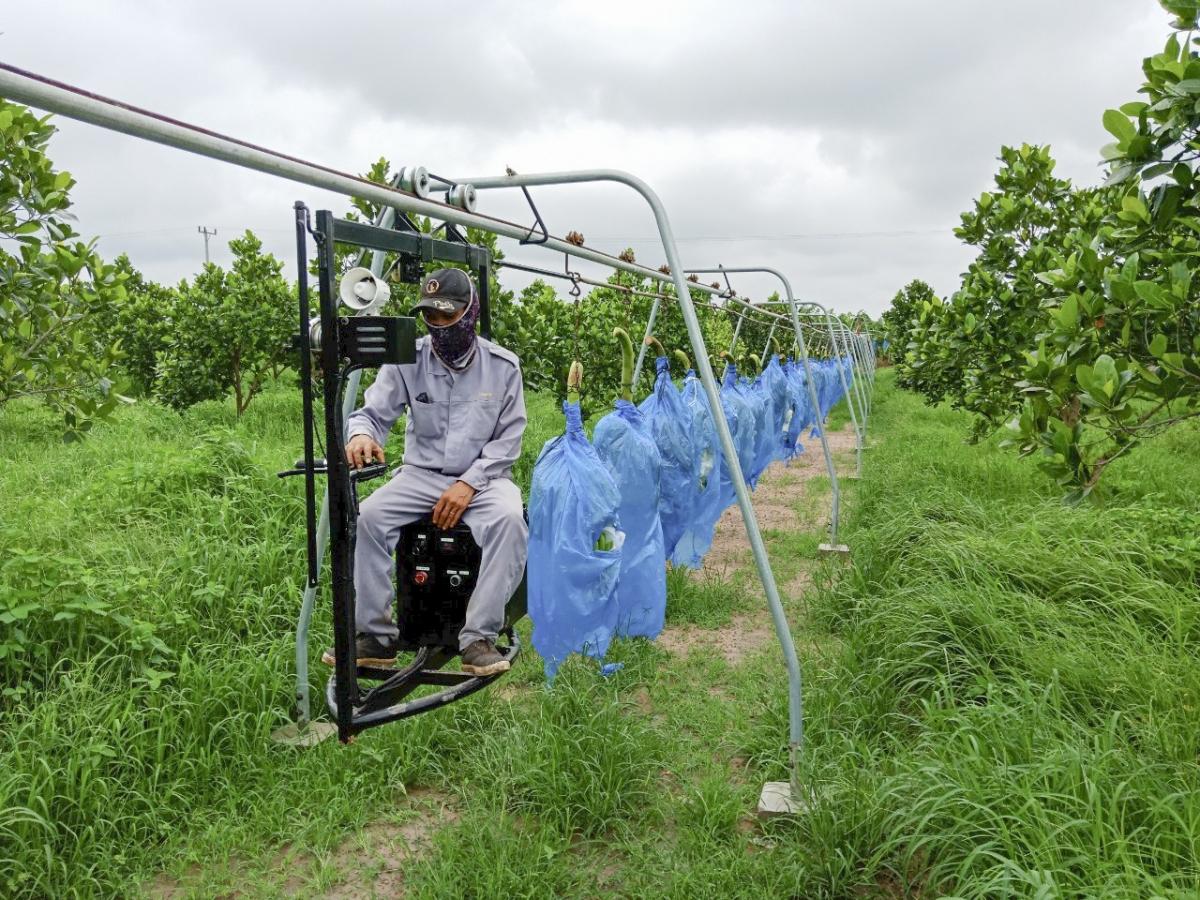 6. Hệ thống ròng rọc thu hoạch chuối.