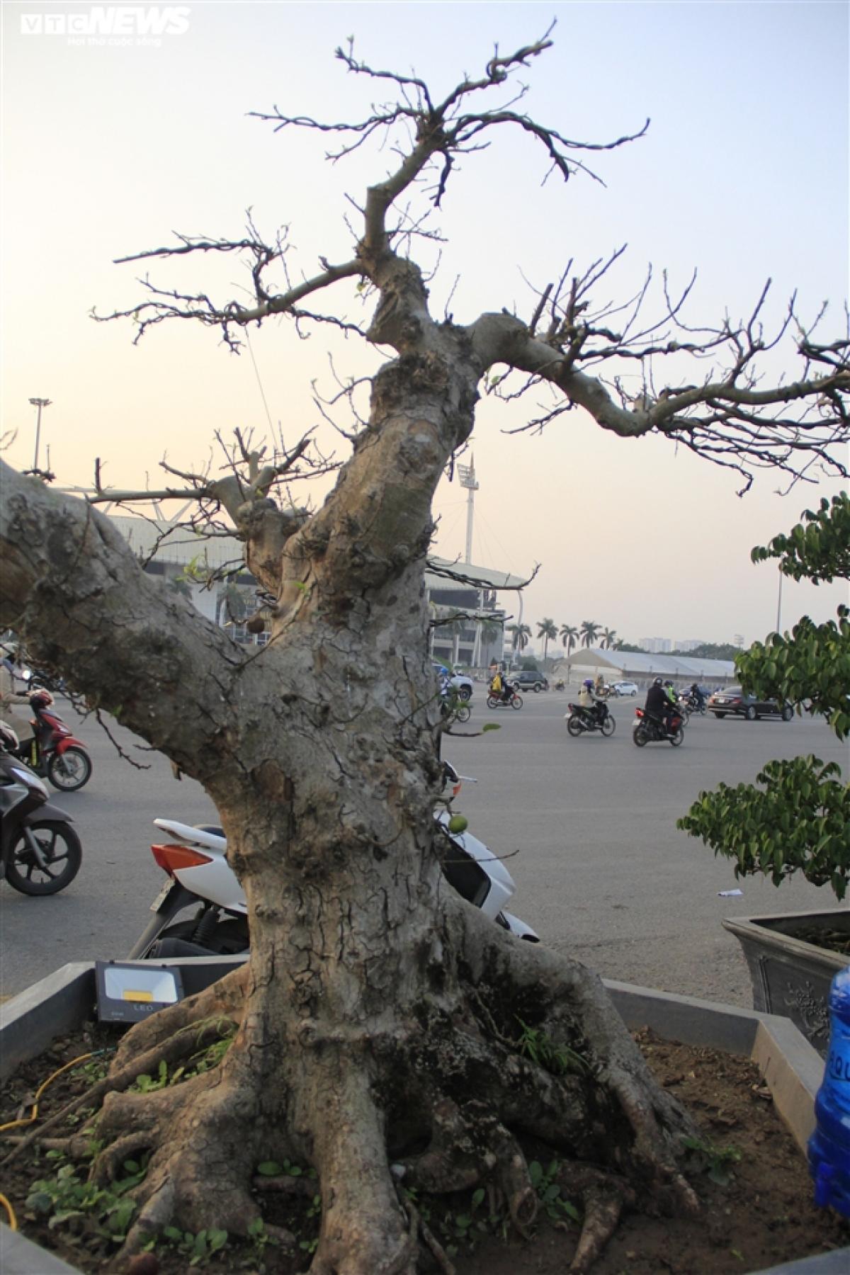 Nhìn từ xa, nhiều người bị cuốn hút bởi cây sung dáng lạ, gốc có nhiều rễ lớn nổi trên mặt đất, màu bệ rễ như đã hóa thạch đẹp mắt.