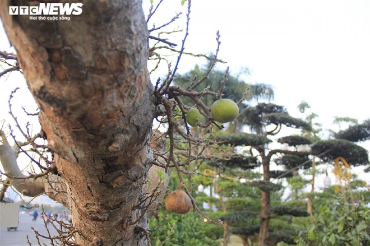 Theo anh Nhật, có một số khách trả giá cây gần 150 triệu đồng nhưng anh muốn chờ được giá cao hơn.