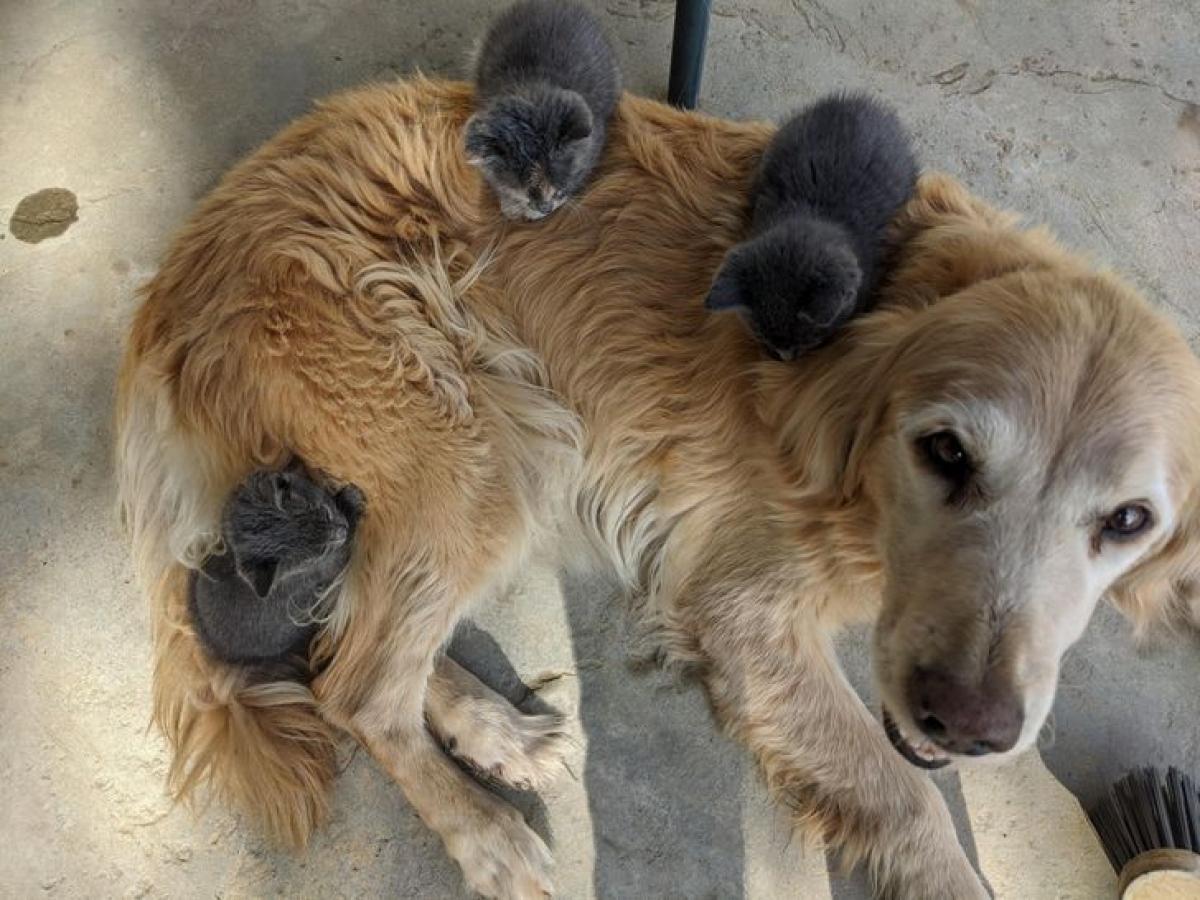 Chú chó to lớn chia sẻ hơi ấm với đàn mèo con.