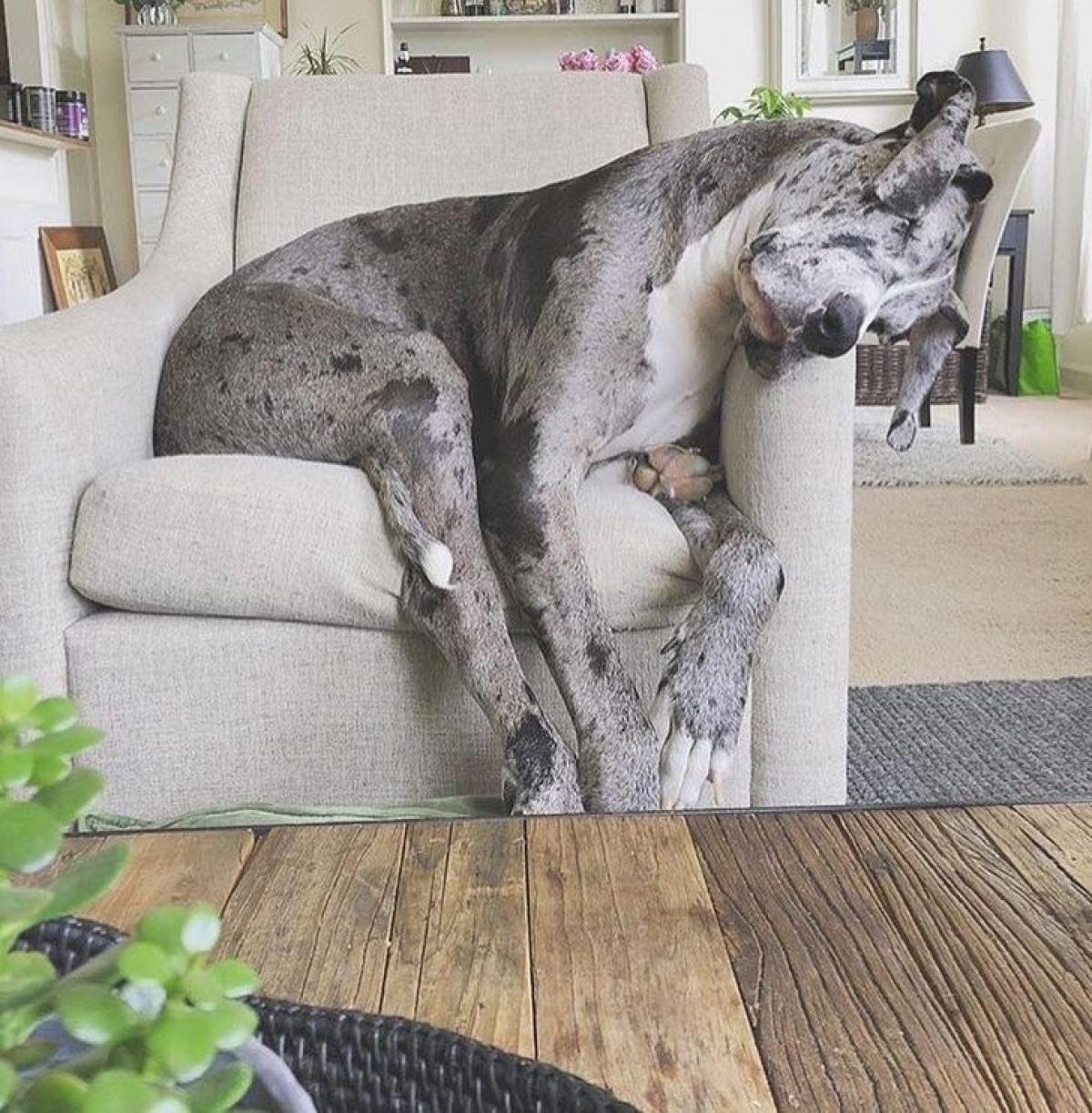 Chú chó tựa đầu ngủ quên trên ghế sofa.