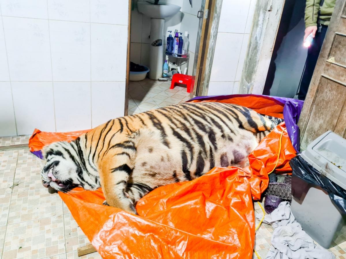 Cá thể hổ đã chết tại nhà dân, chủ nhà rời khỏi hiện trường.
