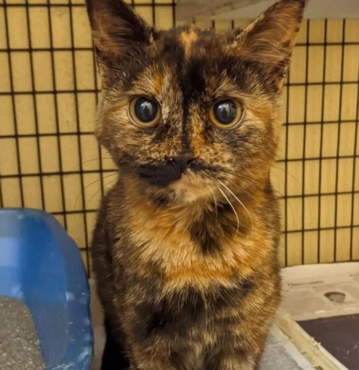 Chú mèo nhìn như không có mũi trên gương mặt.