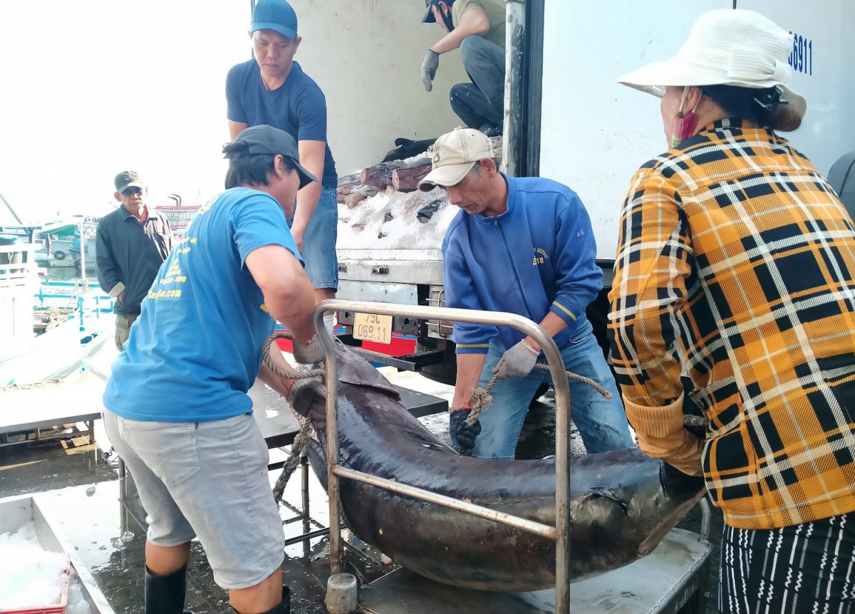 Có những con cá ngừ đạt đến 50kg.