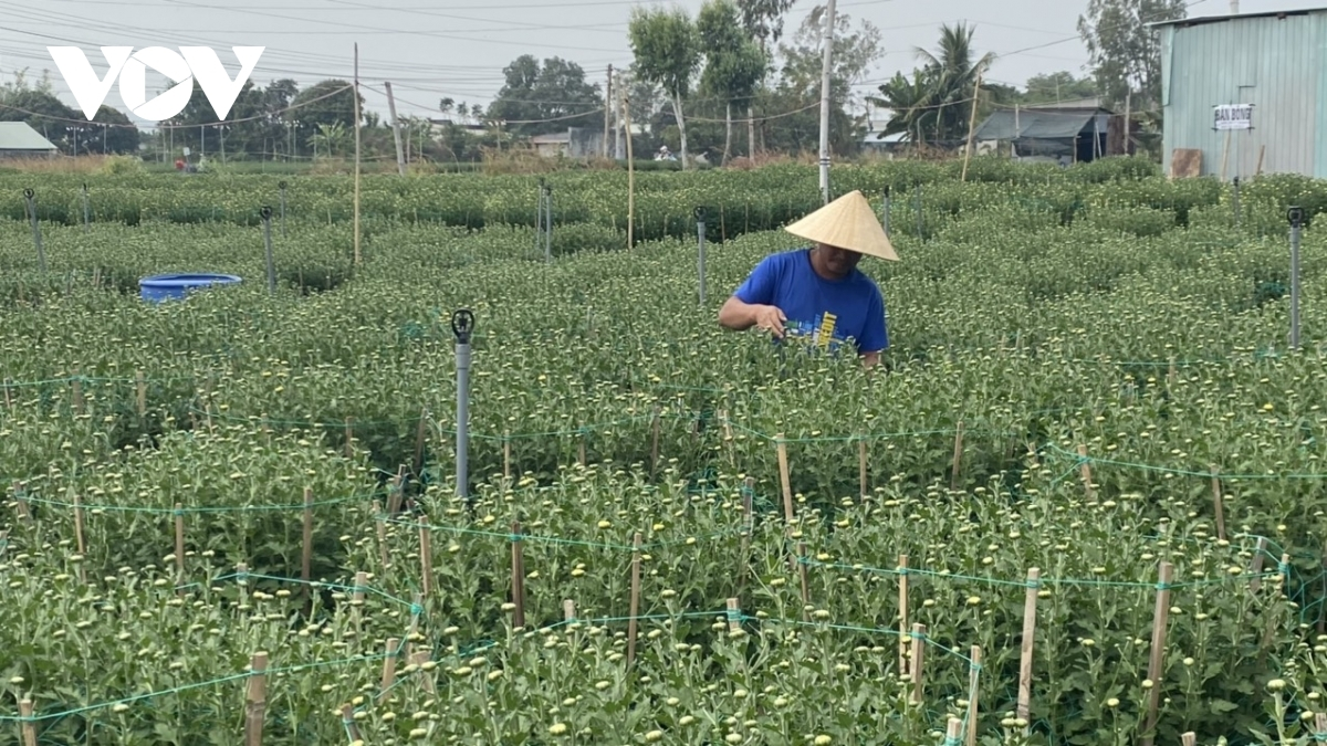 Currently, there are approximately 100 households from the village who plant flowers, serving to attract a large number of buyers from both the locality and nearby provinces.