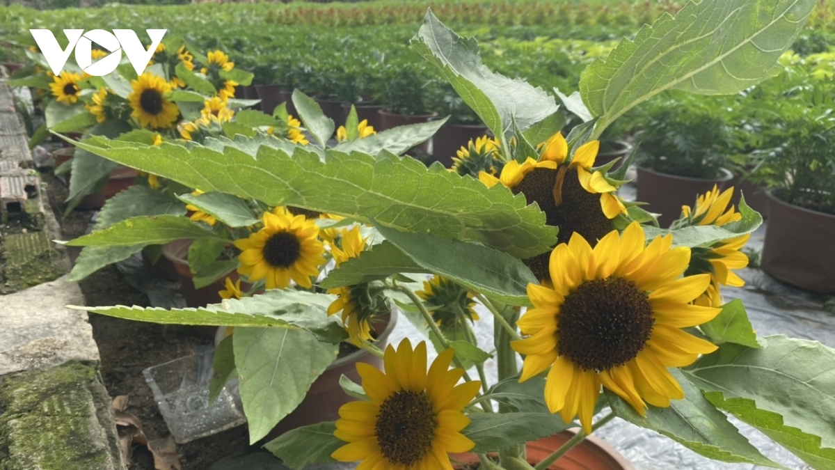 Sunflowers are among the most popular flowers in Kim Dinh village.