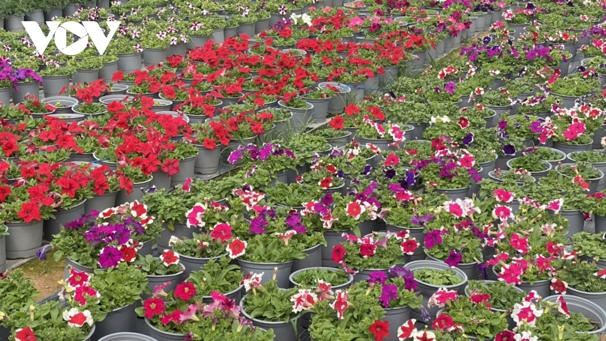 The village has thousands of varieties of flowers and plants which are carefully tended specifically to serve the Tet market.