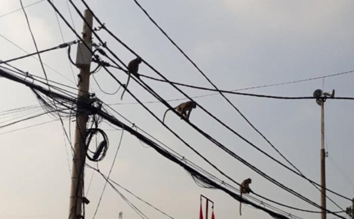 Đàn khỉ đu dây điện bắc ngang khu dân cư phường Thạnh Xuân, Quận 12