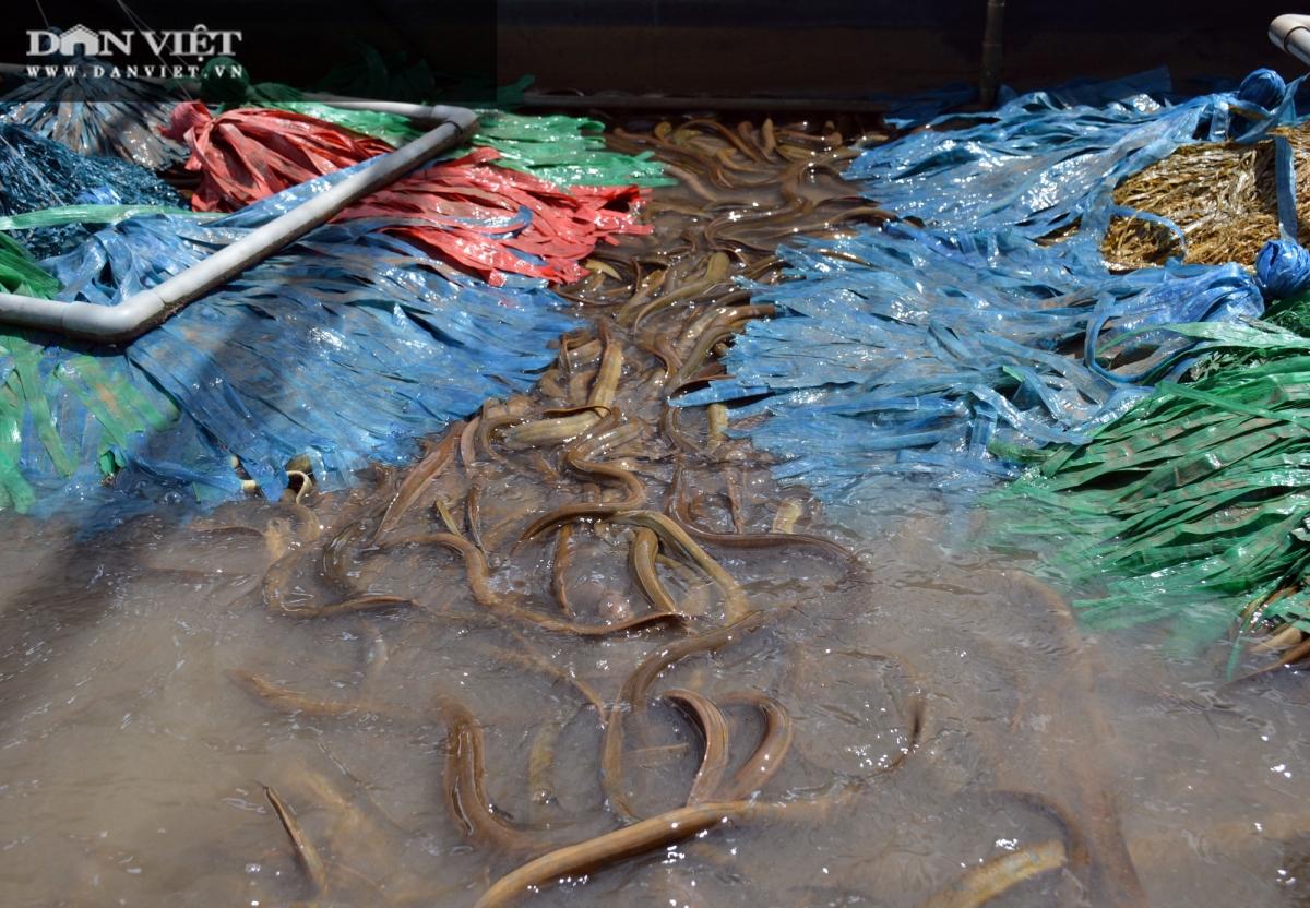Hiện chàng tỷ phú nông dân Phan Khắc Nhật Tiến đang áp dụng mô hình nuôi lươn không bùn công nghệ cao. Mỗi vụ thu hoạch, tỷ suất lợi nhuận đạt khá cao, khoảng 40-50%/sản lượng lươn bắt bán, tức cứ bán 1 ký lươn với giá 170-200.000 đồng thì người nuôi lươn lời gần một nửa. (Ảnh: Chúc Ly)