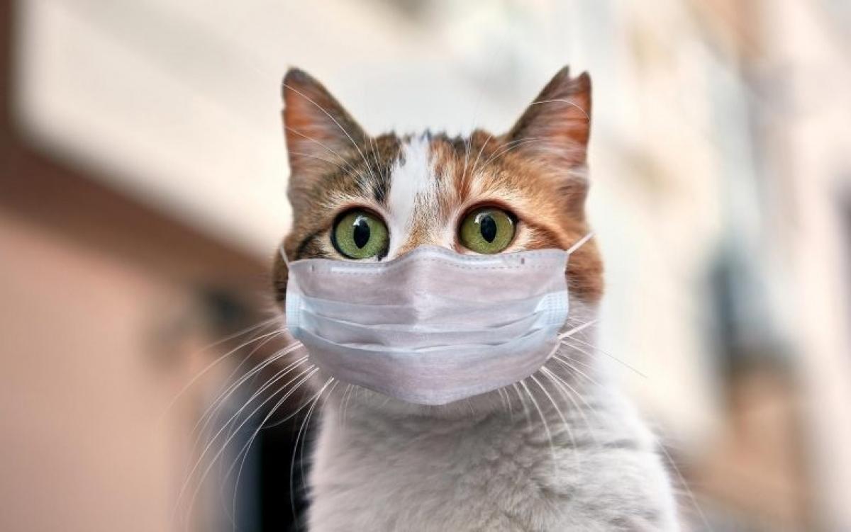 Mèo đeo khẩu trang thời Covid. Ảnh: Scitechdaily.