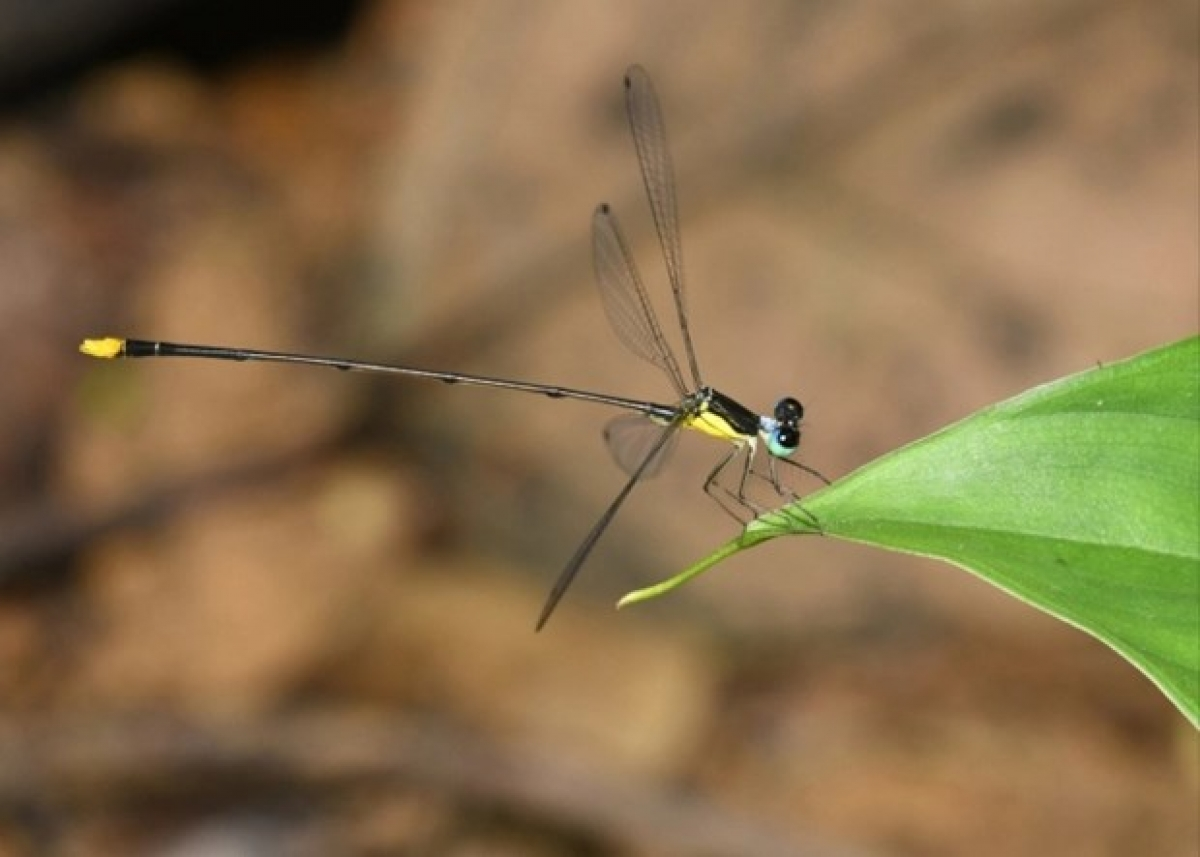The new damselfly species is found in the Vu Quang and Pu Mat national parks (Photo courtesy of researchers)