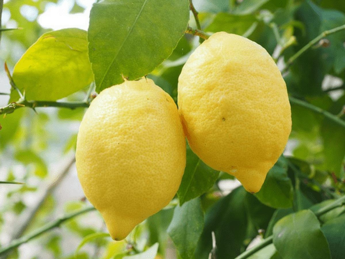 Chanh: Chanh rất giàu vitamin C giúp tăng cường hệ miễn dịch, từ đó bảo vệ cơ thể khỏi các vi khuẩn gây hại và giúp chống lại các mầm bệnh đe dọa sức khỏe hệ sinh sản.