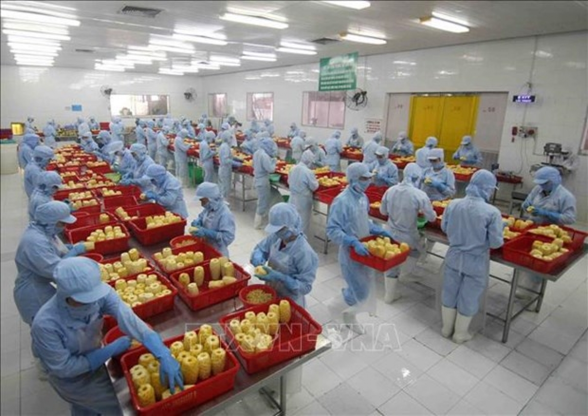 Workers process pineapple for export at the factory of the An Giang Agriculture and Food Import - Export JSC in An Giang province