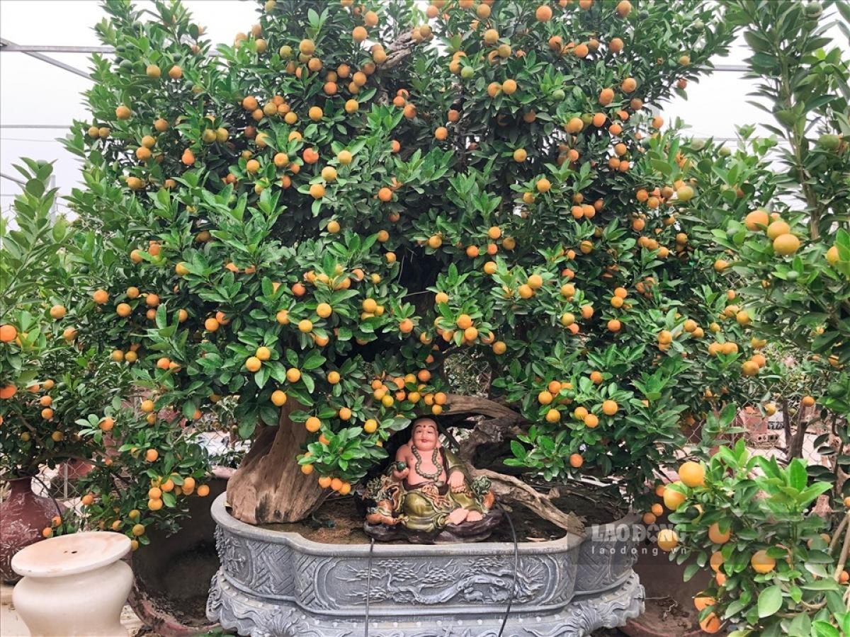 Những chú trâu vàng cõng quất bonsai cũng đang được nhiều khách hàng săn đón cho Tết Tân Sửu 2021 sắp tới.
