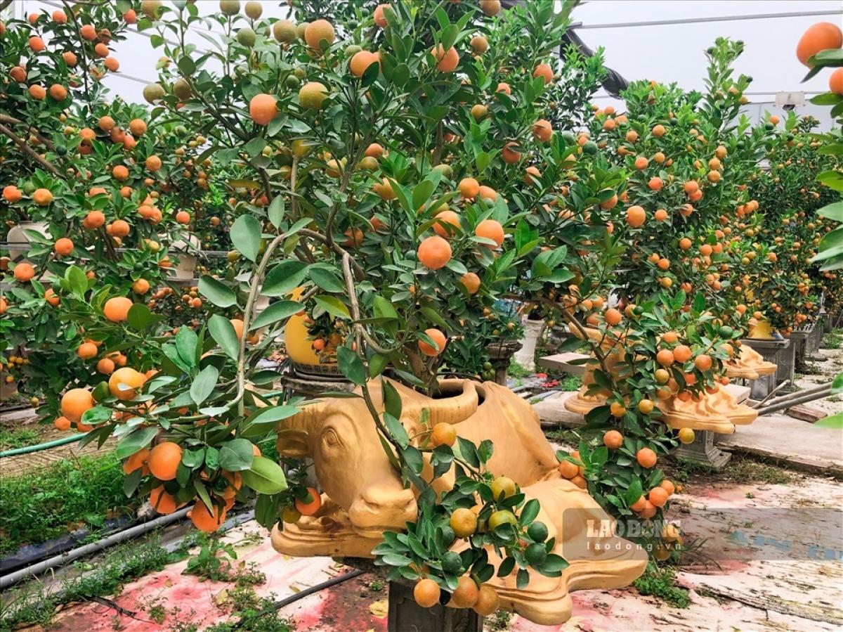 Các cây quất được tạo hình độc đáo, hoặc được ghép với những gốc cổ thụ lâu năm.
