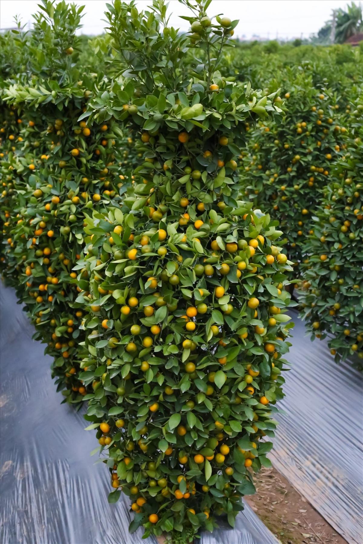 """Thời điểm này, các nhà vườn trồng quất cảnh tại Yên Mỹ (Hưng Yên) cũng đang tất bật bắt tay vào gò thế, tạo dáng """"làm đẹp"""" cho cây để cung cấp ra thị trường./."""