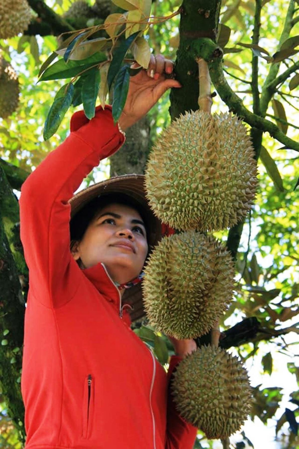 Sầu riêng cây trồng chủ lực được quan tâm đầu tư để nâng cao thu nhập cho người dân huyện Khánh Sơn.