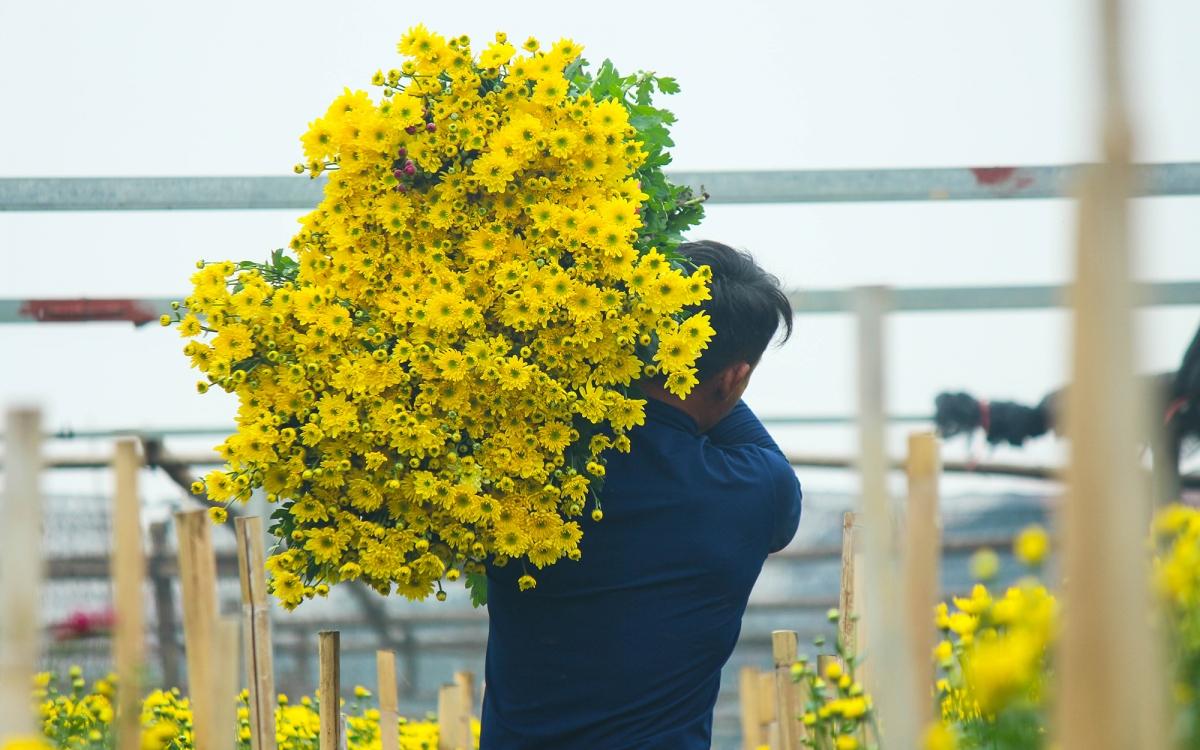 """Anh Lượng, chủ vườn hoa ở Tây Tựu cho biết: """"Năm nay hoa cúc không xuất đi Trung Quốc được bởi dịch Covid-19 nên chỉ phục vụ nhu cầu cho người dân trên địa bàn và một số tỉnh lân cận là chủ yếu""""."""