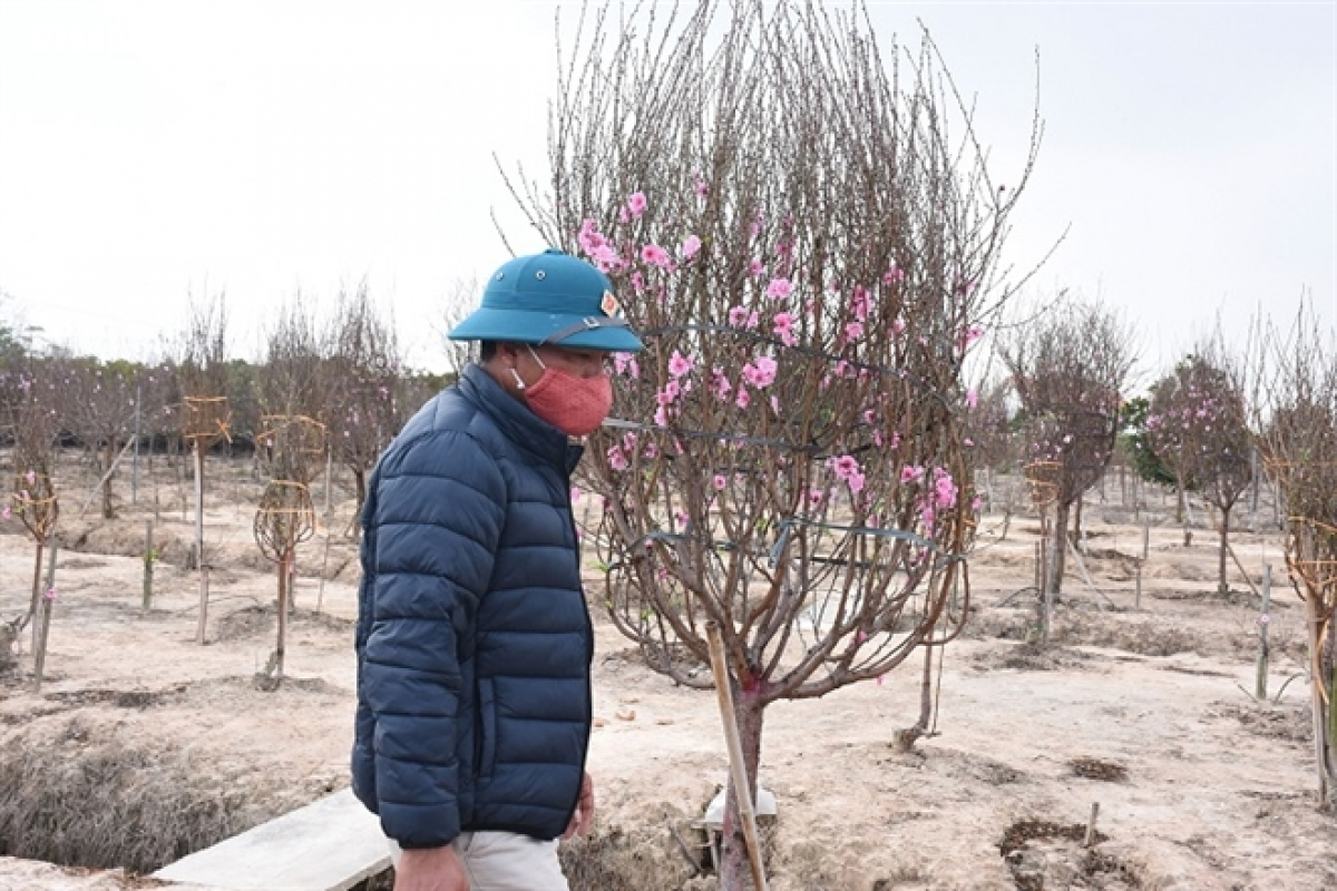 Ông Cường rất sốt ruột khi 2,5 ha trồng đào không bán được.