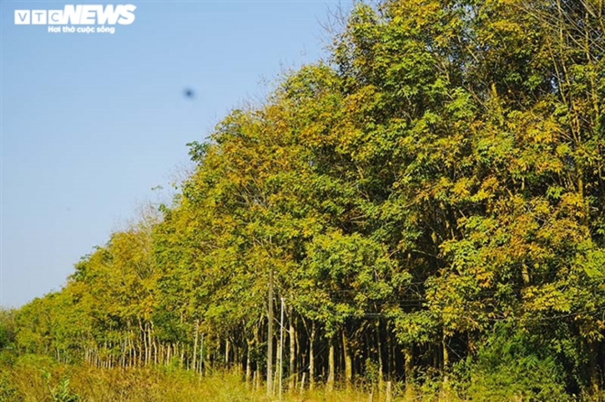 Around this time, the whole rubber forest in Hon Quan district (Binh Phuoc) turned yellow, beautiful and poetic like the scene in Korean love films.