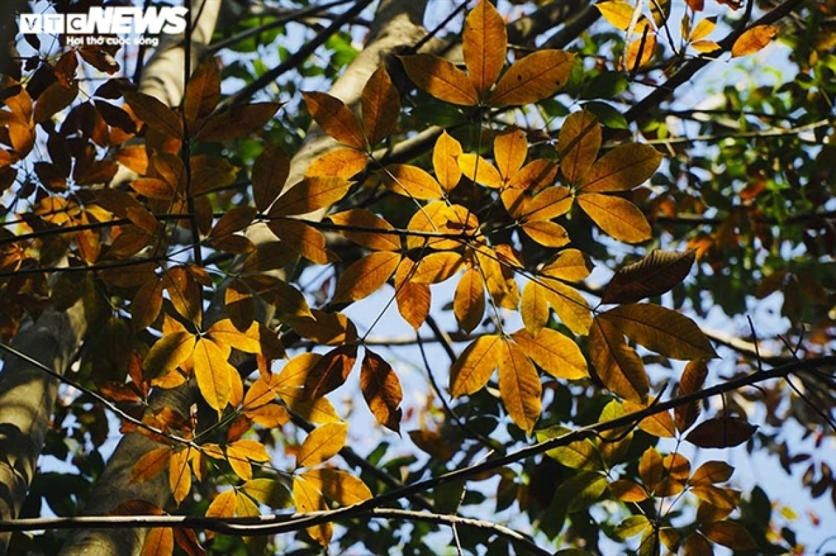 The yellow rubber leaves, waiting for the gentle breeze to fall, fall.