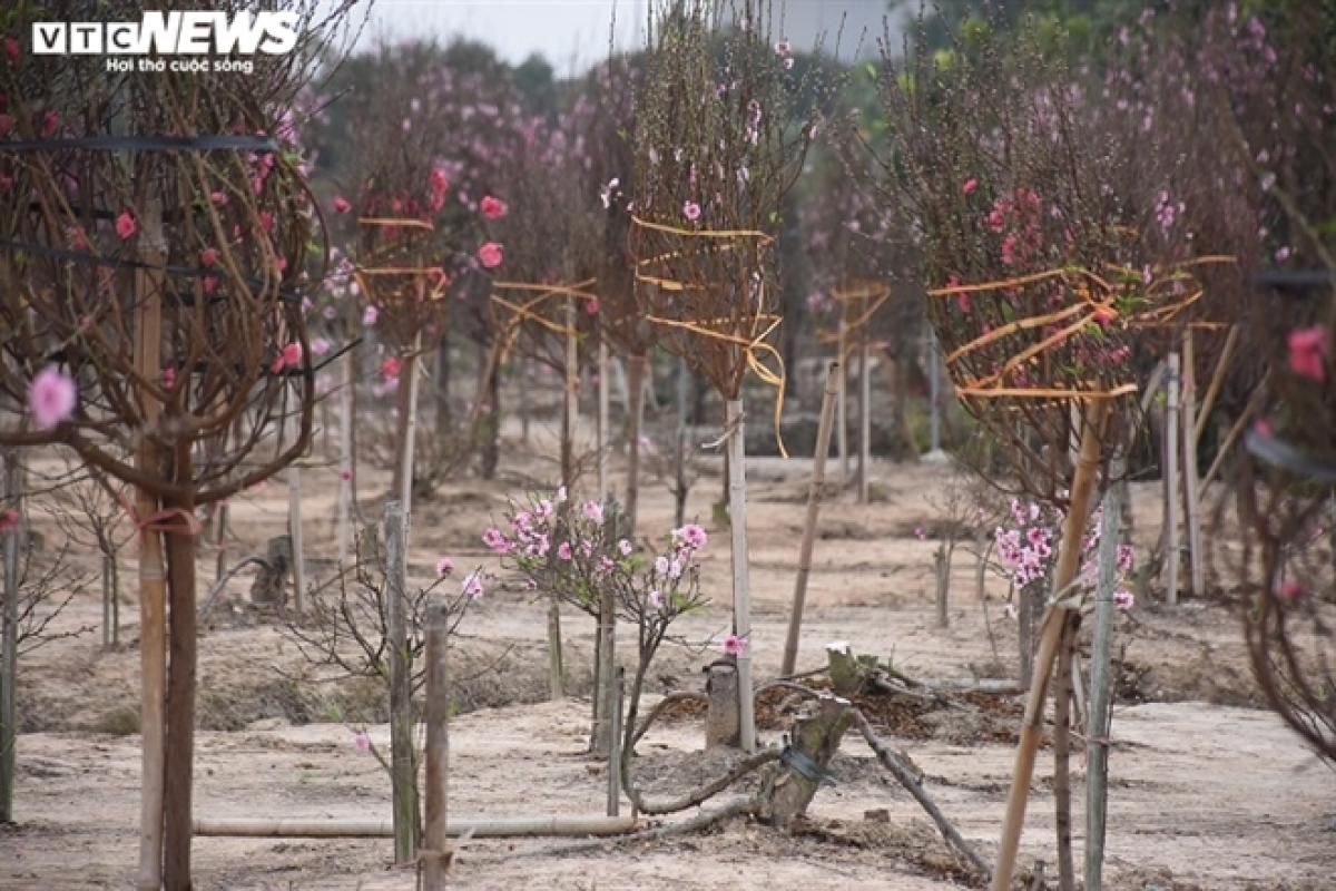 """Đào đã chuẩn bị, đã thuê """"lốt"""" nhưng không bán được khiến bao người dân ở phường Hoàng Tiến (TP Chí Linh) lo lắng."""