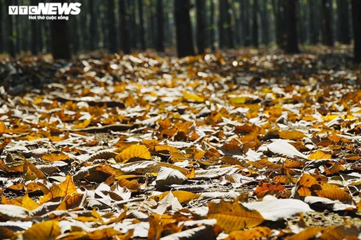 The fallen leaves form an eye-catching yellow carpet.
