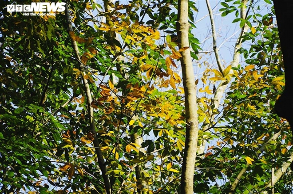 In this season, farmers will stop harvesting rubber latex to nourish the tree to prepare for next year's resin harvest.