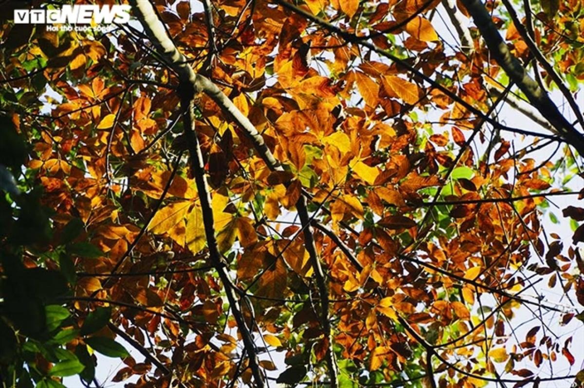Đến cuối mùa, khi những chiếc lá cao su cuối cùng rụng xuống, cả rừng bạt ngàn sẽ chỉ còn những cành cây khẳng khiu.
