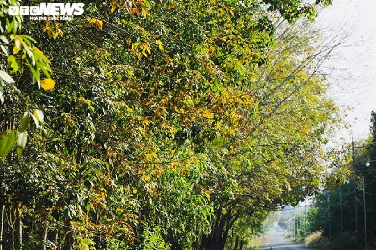 Khi lá cây rụng hết cũng là lúc rừng cao su đâm chồi, nảy lộc và bắt đầu một mùa mới, hình thành những tán lá xanh mướt mắt./.